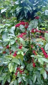 organic coffee - Nicaragua
